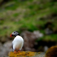 Puffin, take a boat trip to Rhum